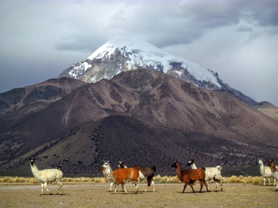 Les lamas sont du paysage en Bolivie. Ici devant le Volcan Sajama